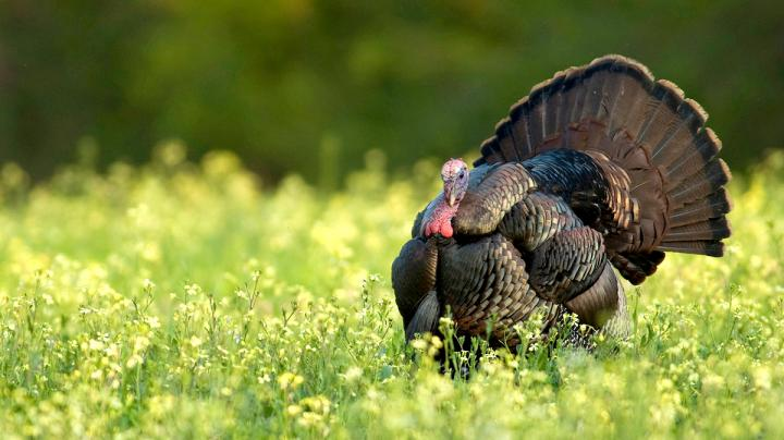Top 7 Places You Can Still Turkey Hunt in May Preview Image