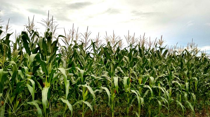 Food Plot Seed: How to Plant Corn Preview Image