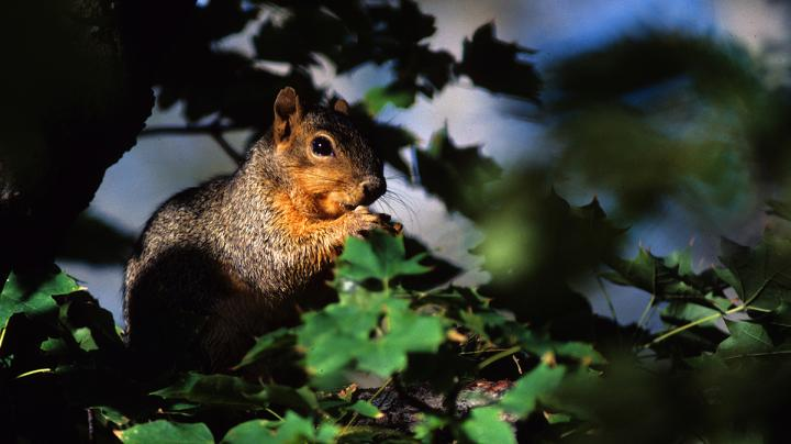 Fox Squirrel Hunting in the Southeast Preview Image