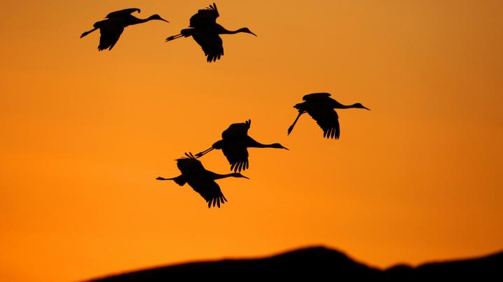 How to Hunt Sandhill Cranes Preview Image