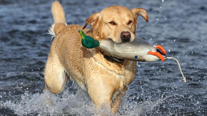 Building a Better Duck Dog, Part III Preview Image