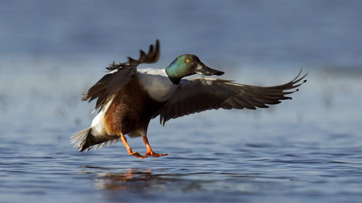 Spoonies (and Other True Waterfowling Confessions) Preview Image