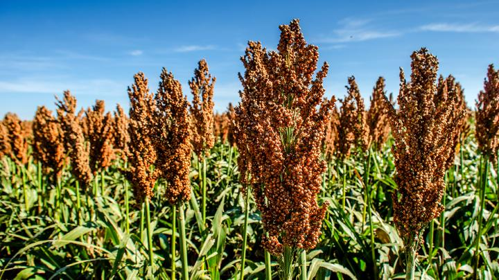 Food Plot Seed: How to Plant Grain Sorghum Preview Image
