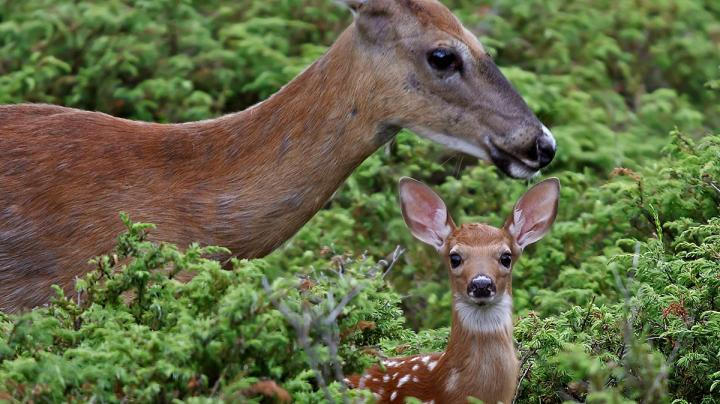 Are CWD-Positive Does Passing the Disease on to Their Fawns? Preview Image