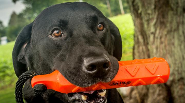 Duck Dog Training: Force-Fetching Basics Preview Image