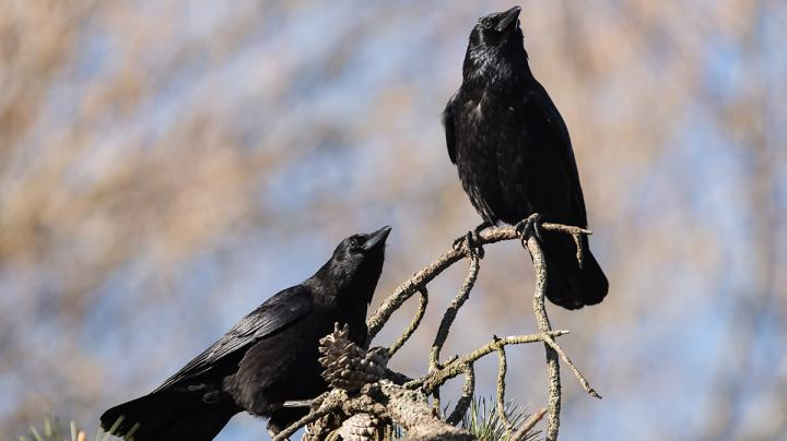 How to Hunt Crows Preview Image