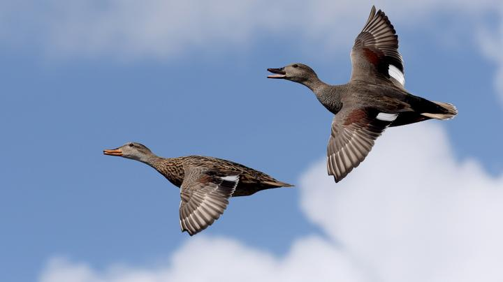 Mississippi Flyway Report: Deep Freeze Equals Hunting Success Preview Image