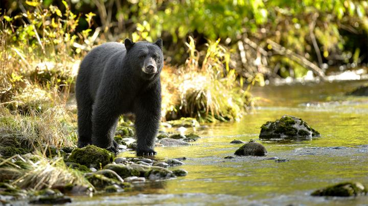 How to Field Judge Black Bears  Preview Image