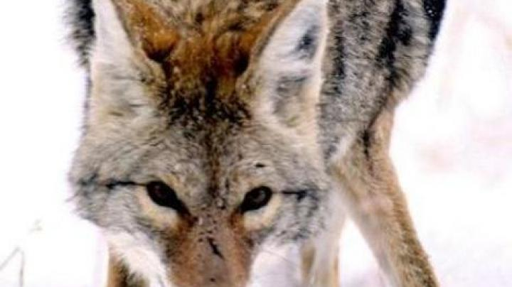Colorado Officers Shoot Coyotes After 5-Year-Old is Bitten Preview Image