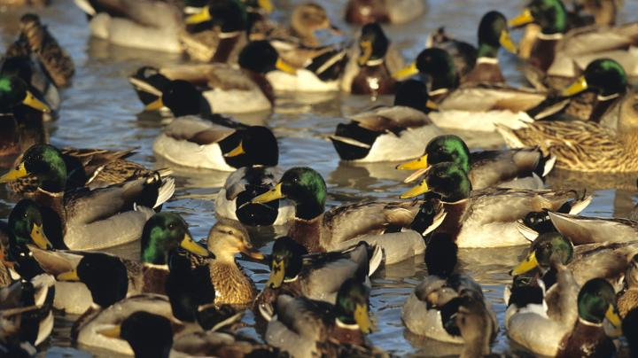Duck Hunting in Colorado Preview Image