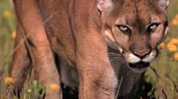Why Cougar Hunting Means Better Deer Hunting Preview Image