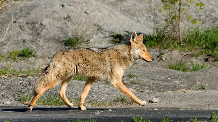 Three Coyotes Attack Man in His Backyard Preview Image