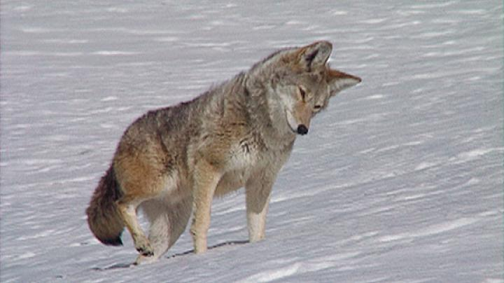 6,000 Coyotes Turned in to Utah's Bounty Program Amid Claims the Program Will Fail Preview Image