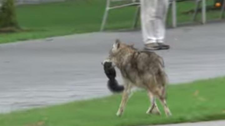 Wild Coyote Getting Too Close for Comfort on UBC Campus Preview Image