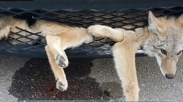 Coyote Stuck in Vehicle Grill After Collision Preview Image