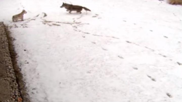 Watch Small Dog Escape Coyote Attack Preview Image
