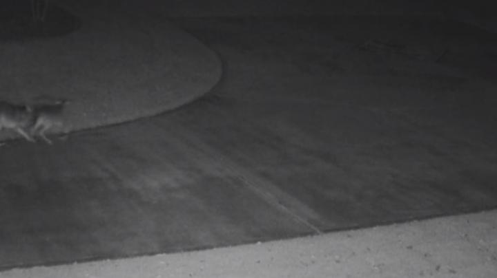 Watch Coyote Take Down Deer on Homeowner's Driveway Preview Image