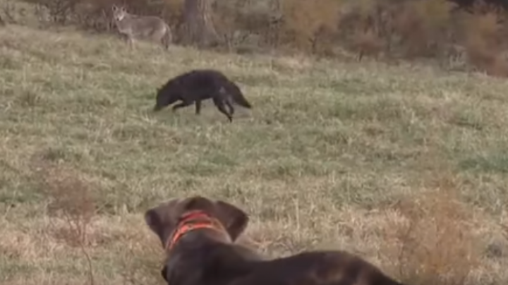Watch Coyotes Chase and Fight Decoy Dogs Preview Image