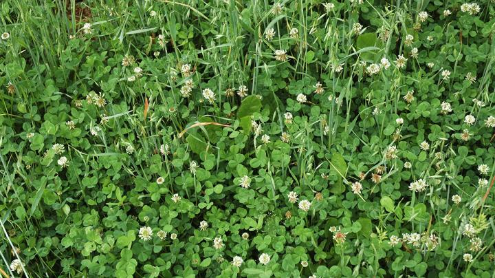 Food Plot Seed: How to Plant Ladino Clover Preview Image