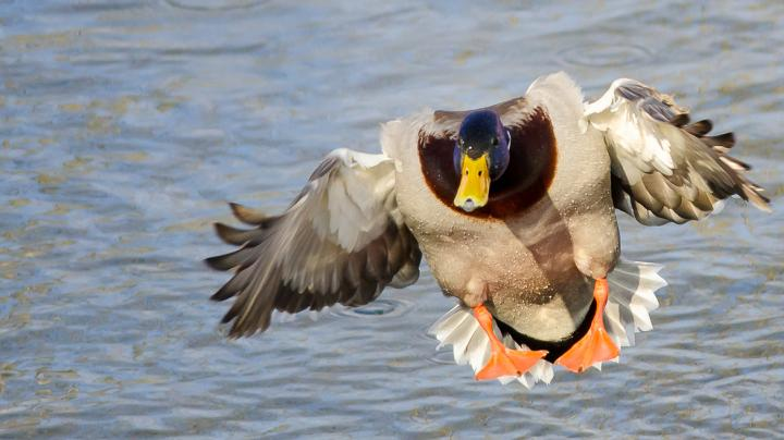 Duck Hunting: 6 Ways to Do it Right Preview Image