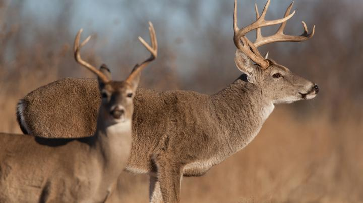 A Detailed Look Into Antlered Buck Management Preview Image