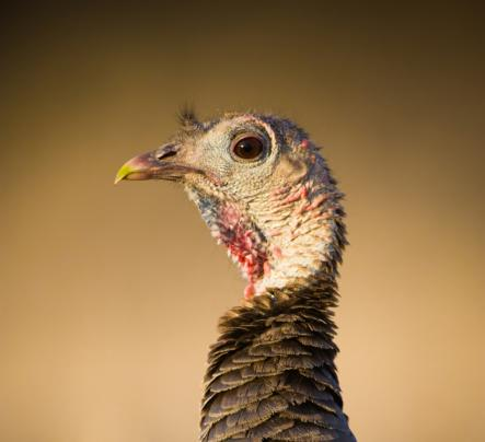 5 Ways to Turkey Hunt Like a Lost Hen Preview Image