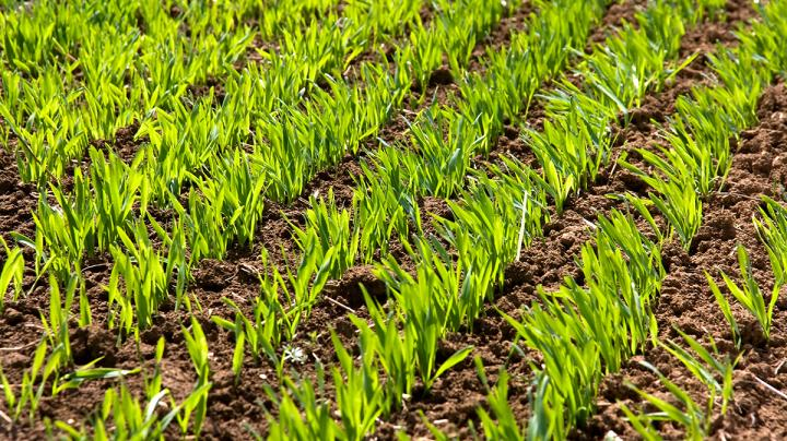 Food Plot Seed: How to Plant Wheat Preview Image