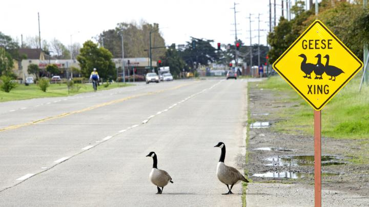 Road-Killed Waterfowl? The Struggle is Real Preview Image