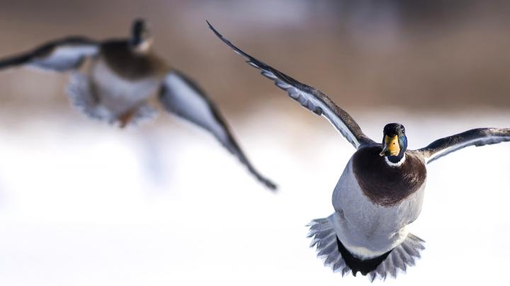 Mississippi Flyway Report: Birds Abundant, Success Mixed Preview Image