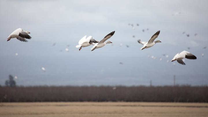 Freak Waterfowl Accident: Lightning Kills Geese Preview Image