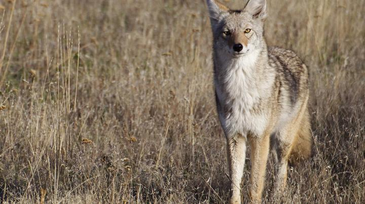 7 Mistakes Coyote Hunters Make Preview Image