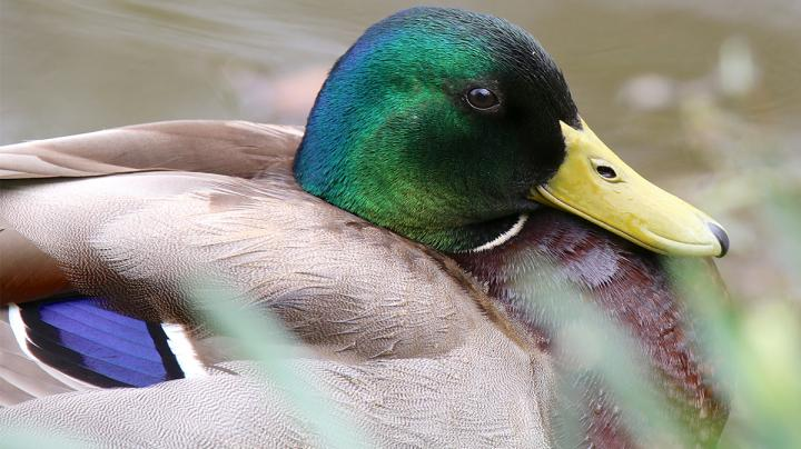 Greenhead Greats: Top 5 Hunting States for Mallards Preview Image