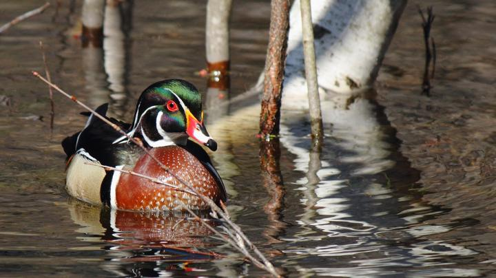 Wood Duck Hunting Dos and Don'ts Preview Image