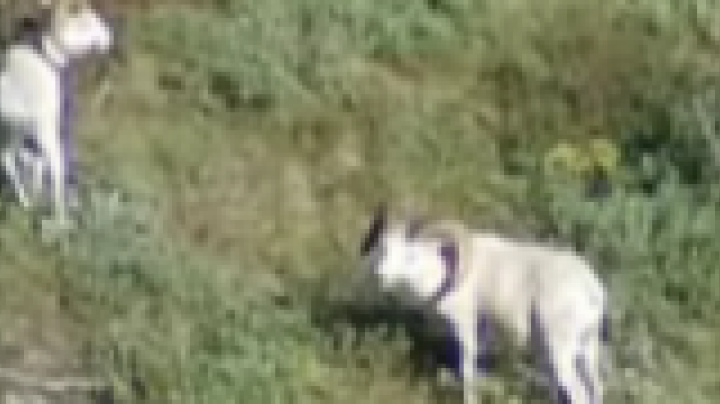 Foxworthy hunts Dall sheep Preview Image