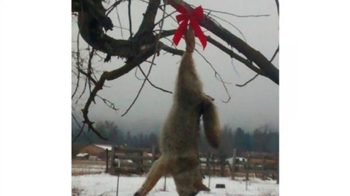 Photo of Dead Coyote Hanging from a Tree with a Red Bow Causes Controversy Preview Image
