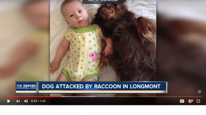 Raccoon Fatally Wounds Family Dog Preview Image