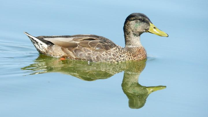 Duck Season Dates and Global Warming Preview Image