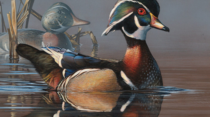 Wood Duck Rendition Tops 2018 Federal Duck Stamp Contest Preview Image