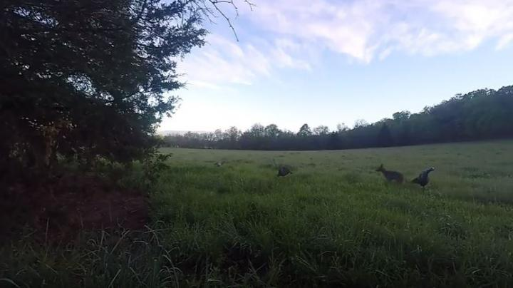 Dude Needs to React Faster as Coyote Attacks Turkey Decoys Preview Image