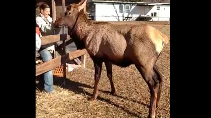 Lone South Carolina Elk Tries to Spar with Woman Preview Image