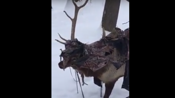 Elk Filmed with Ground Blind Tangled in Antlers Preview Image