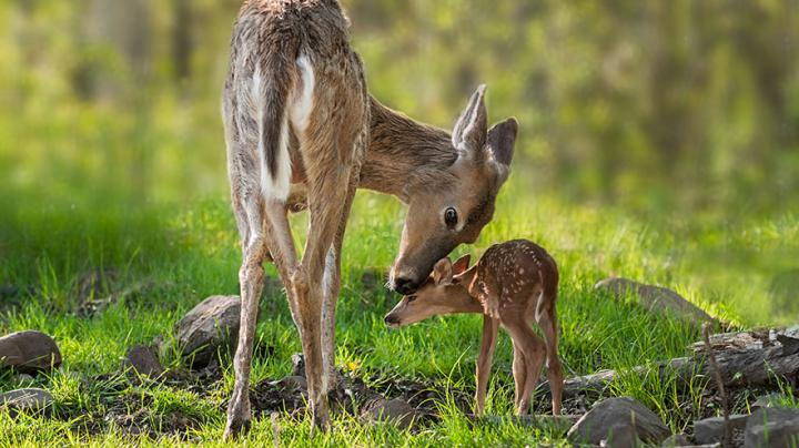 Want More Deer? Save The Fawns. Preview Image