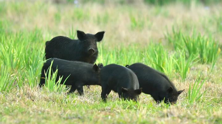 Photo Gallery: See How Feral Pigs Are Raiding Wild Turkey Nests Preview Image