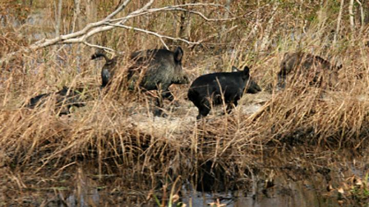All Night Long Hog and Coyote Hunting in N.C. Preview Image