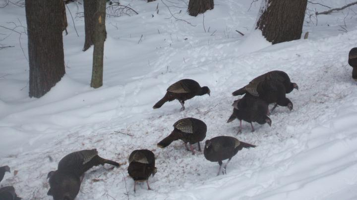 Flock Calling Your Thanksgiving Turkey Preview Image