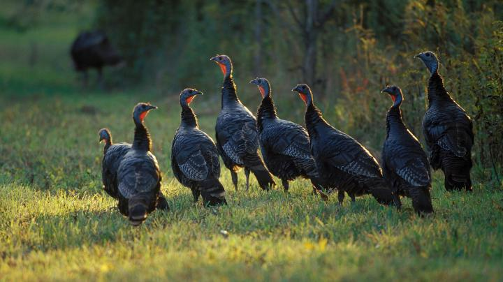 New Hampshire Turkey Brood Survey Preview Image