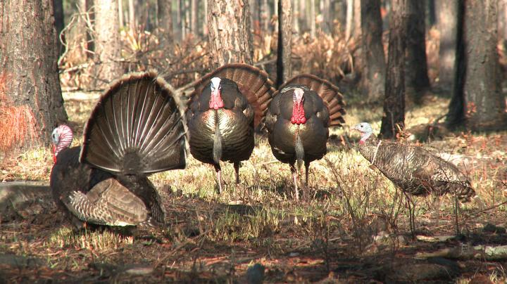 15-Yard Files: Gobblers Destroy Jake Decoy, Steal its Head Preview Image
