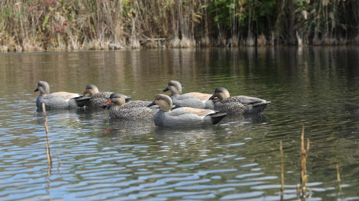 New Duck Decoys for 2014: Part 1 Preview Image