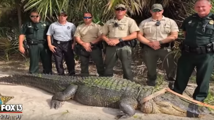 Massive Florida Gator Captured and Killed Preview Image