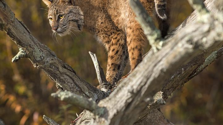 New Hampshire Commission Approves Bobcat Season Preview Image